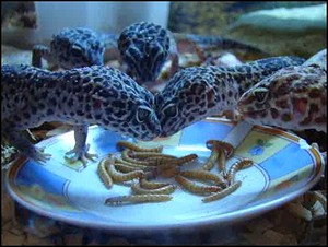 substrat gecko leopard